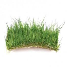 Eleocharis acicularis (Dwarf Hairgrass)