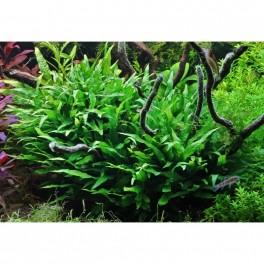 Microsorum pteropus (Java Fern)