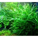 "Microsorum pteropus ""Needle Leaf"" (needle leaf java fern)"