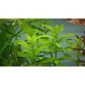 Limnophila aromatica ''Wavy''