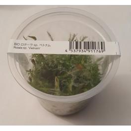 Rotala wallichii labelled as Rotala sp. 'Vietnam' (ADA IN VITRO)