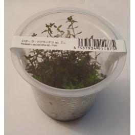 Rotala macrandra sp. Mini (ADA IN VITRO)