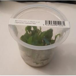 Lagenendra meeboldii 'red' (ADA IN VITRO)